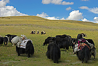 Tibetan nomads taken a rest with their Yaks on the Tibetan Plateau, the average elevation exceeding 4,500 metres (14,800 ft), the Tibetan Plateau is sometimes called &quot;the Roof of the World&quot; and is the world's highest and largest plateau. China<br />