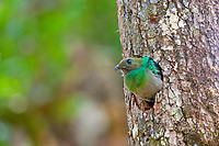 resplendent quetzal, Pharomachrus mocinno, adult female looking out of nest hole, Costa Rica, Central America