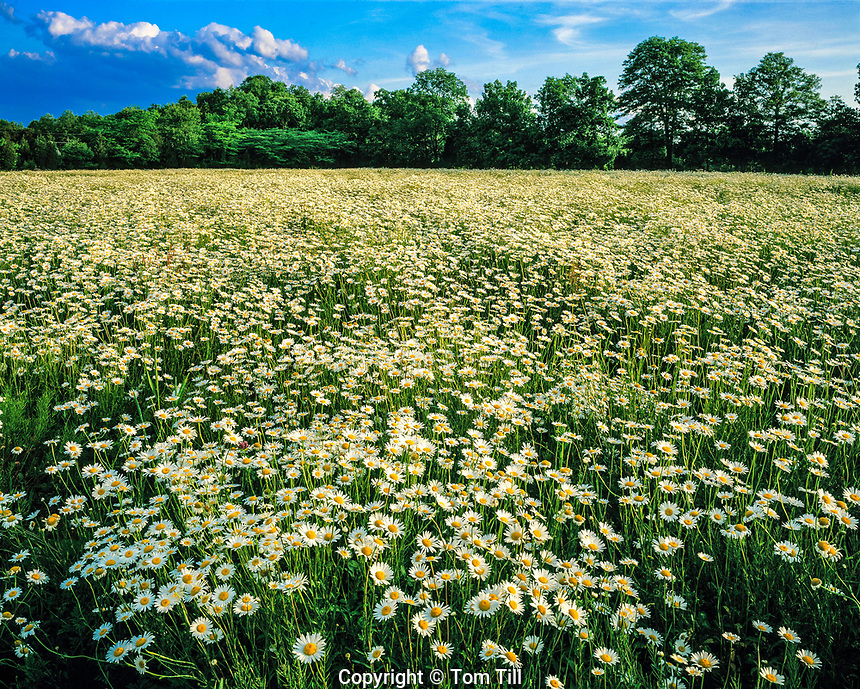 Oxeye Daisy Field at Sunset in Summer, Hunterdon County, New Jersey    Chrysanthemum leucanthrmum