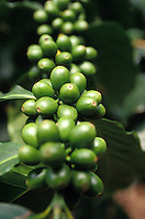 Coffee beans on the branch at Uchida Coffee Farm and walking tours in Kona on the Big Island