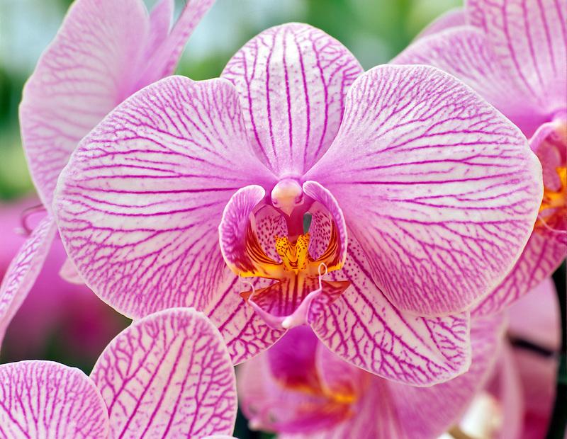 Orchid. Phal. Soir d'ete X Phal. Kathleen Ai.
