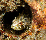 Blackfin blenny; Paraclinus nigripinnis, Blue Heron Bridge, Riviera Beach, FL, USA, North Atlantic, ID per Rob Myers. 2-11-12-05