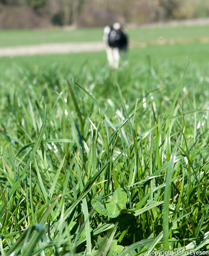 White Clover 'Trifolium repens', close-up in an organic pasture, Shropshire