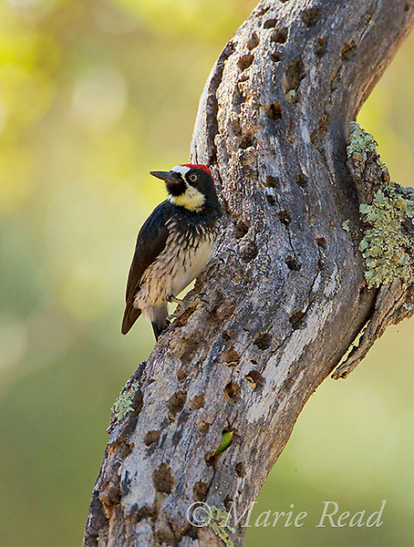 Acorn Woodpecker (Melanerpes formicivorus), male at its granary, one stored acorn visible, October, Mt Diablo State Park, California, USA
