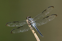 389100001 a wild male bar-winged skimmer libellula axelina a rare texas dragonfly or odonate perches on a limb in the angelina national forest in jasper county texas