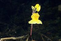 Gewöhnlicher Wasserschlauch, Blüte über der Waseroberfläche, Urticularia vulgaris, Common Bladderwort, Greater Bladderwort