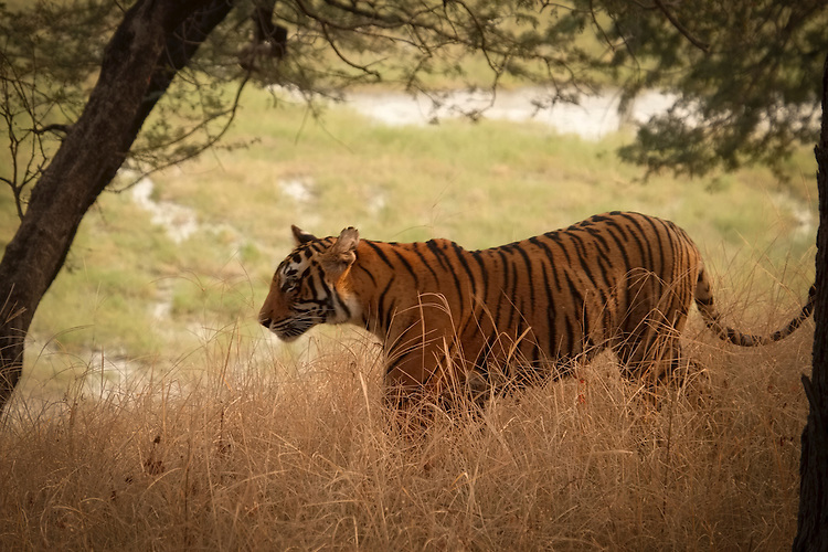 Ranthambhore, for many decades the hunting preserve of the Maharajas of Jaipur, cover 98,800 acres, offering a fascinating combination of crumbling monuments, living temples, wild beauty, and a change to spot a wild bengal tiger.