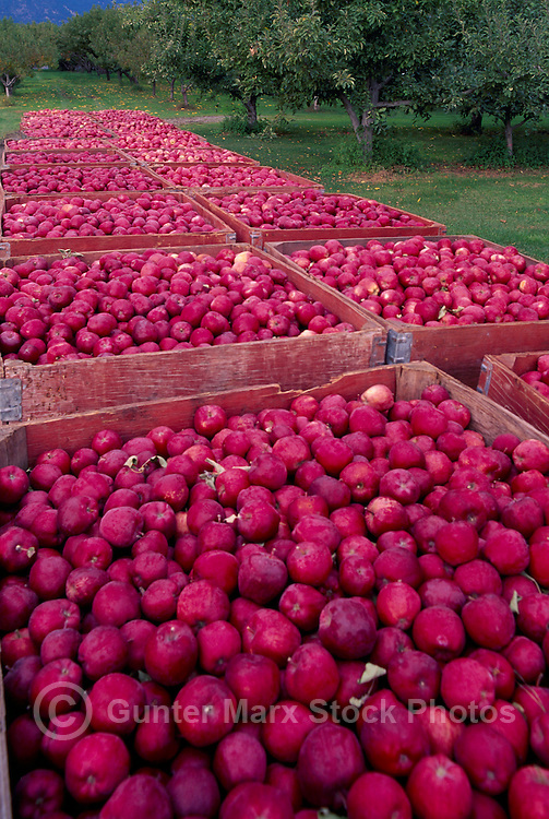 Harvested Red Spartan Apples packed in Crates in Orchard, South Okanagan Valley, BC, British Columbia, Canada - Fresh Fruit