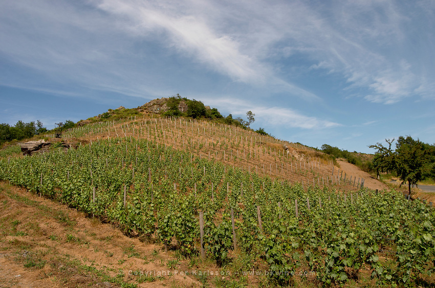 Vineyard. Domaine Jo Pithon, Anjou, Loire, France