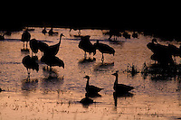 Sandhill cranes and snow geese settle in for their evening roost. Bosque del Apache National Wildlife Refuge in southern Socorro County, New Mexico.