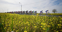 peloton through the rape (flower) fields<br /> <br /> <br /> Nokere Koerse 2014