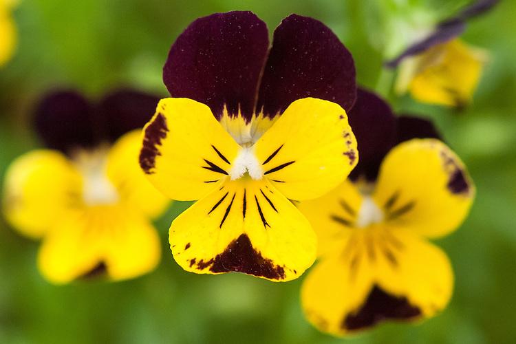 Viola 'Wasp', mid May.