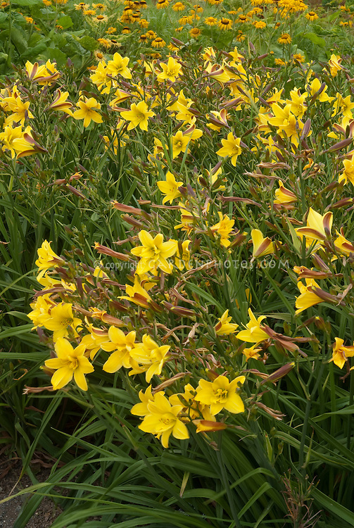Daylily Lemon Bells in yellow flowers