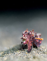 Flamboyant Cuttlefish (Metwasepia pfefferi) in the Lembeh Strait / Indonesia