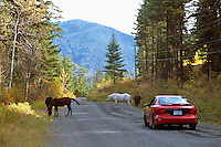 A Herd of Free Roaming Wild Horses walking and grazing along a Country Road, Southwestern BC, British Columbia, Canada