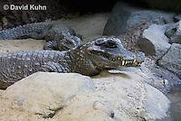 0311-1103  West African Dwarf Crocodile (Broad-Nosed Crocodile), Osteolaemus tetraspis  © David Kuhn/Dwight Kuhn Photography