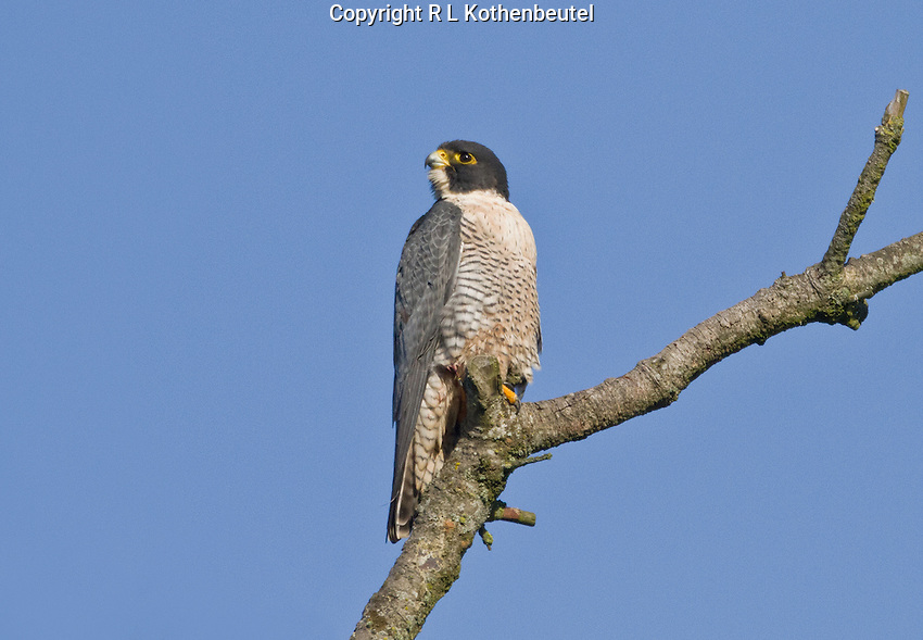 Adult peregrine falcon perched on its favorite snag.