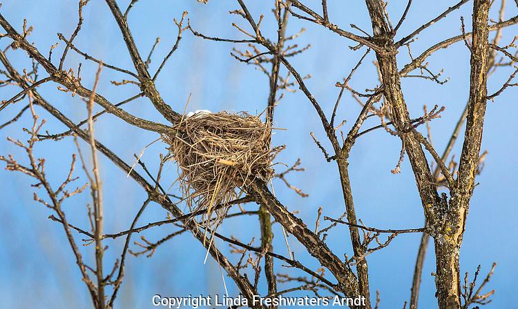 Bird's nest in a burr oak tree