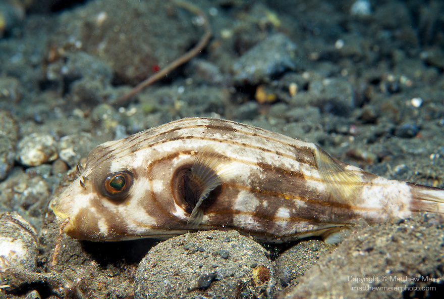 Milne Bay, Papua New Guinea; Striped Puffer (Arothron manilensis), to 31 cm (12 ½ in.), live in coastal mangroves, seagrass beds, weedy areas and sand and silt bottoms near reefs in 2-20 meters, found in W. Australia to Kalimantan (Borneo) in Indonesia to Tonga, S.W. Japan and Micronesia to E. Australia , Copyright © Matthew Meier, matthewmeierphoto.com All Rights Reserved