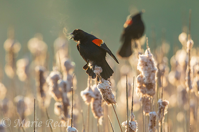 Red-winged Blackbird (Agelaius phoeniceus) male displaying and calling, backlighting, a second male in the background, Ithaca, New York, USA