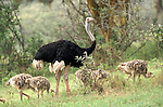 A male Ostrich with babies ,Struthio camelus,