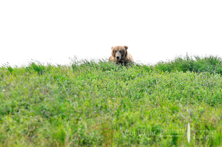 A brown bear peers over the edge of the bluff at the McNeil River Falls,  in Alaska's McNeil River State Game Sanctuary.