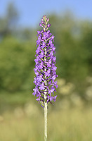 Marsh Fragrant-orchid - Gymnadenia densiflora