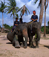 Indian Elephants posing for the camera. Bali Indonesia