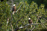 USA, Alaska, Bald eagles perched in a tree, Redoubt Bay