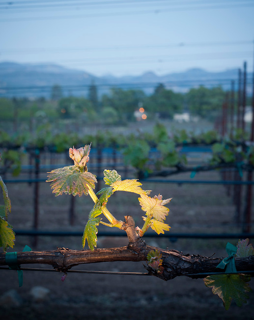 Bud break in Napa Valley