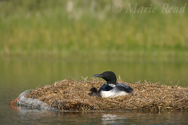 Common Loon (Gavia immer) adult and chick on artificial nest platform, Michigan, USA