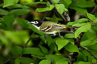 Black-capped Vireo, Male