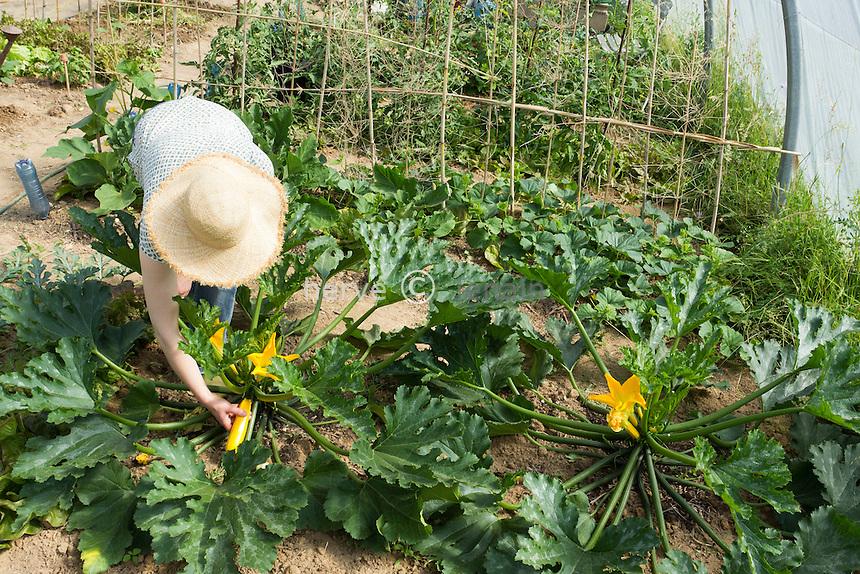 Cueillette de courgettes jaunes 'Gold Rush' par une jardinière (model & property release OK) // Picking of yellow courgettes 'Gold Rush' (model & property release OK).