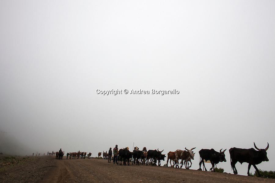 Ethiopia, Tigray region, Kola District. Cows going to pasture in the early morning.