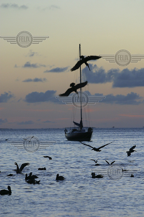 Pelicans dive for fish. Sailboat in background. The island of Grand Roque is a popular Caribbean holiday destination.