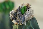 2 costa's hummingbird chicks in nest on cactus in Rancho Mirage