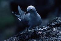 bird, Blue-gray Noddy, Procelsterna cerulea saxatilis, in nesting colony on Nihoa Island, Papahanaumokuakea Marine National Monument, Northwestern Hawaiian Islands, Hawaii, USA, Pacific Ocean