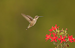 Ruby throated hummingbird female on royal catchfly