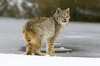 Canada Lynx looking back from the edge of an icy pond - CA