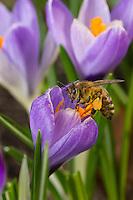 Honigbiene, Honig-Biene, Pollenhöschen, Pollen, Biene, Bienen, Apis mellifera, Apis mellifica, Blütenbesuch auf Krokus, Nektarsuche, Blütenbestäubung, honey bee, hive bee, bee, bees