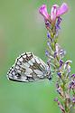 Marbled White {Melanargia galathea}, Gran Paradiso National Park, Aosta Valley, Pennine Alps, Italy. July.