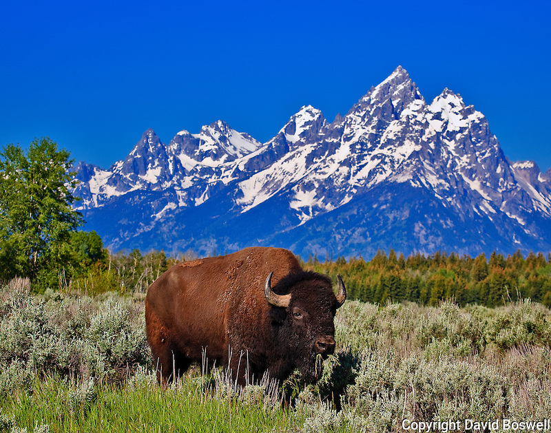 A bison grazing in Grand Teton National Park, with the Cathedral Group in the Background.