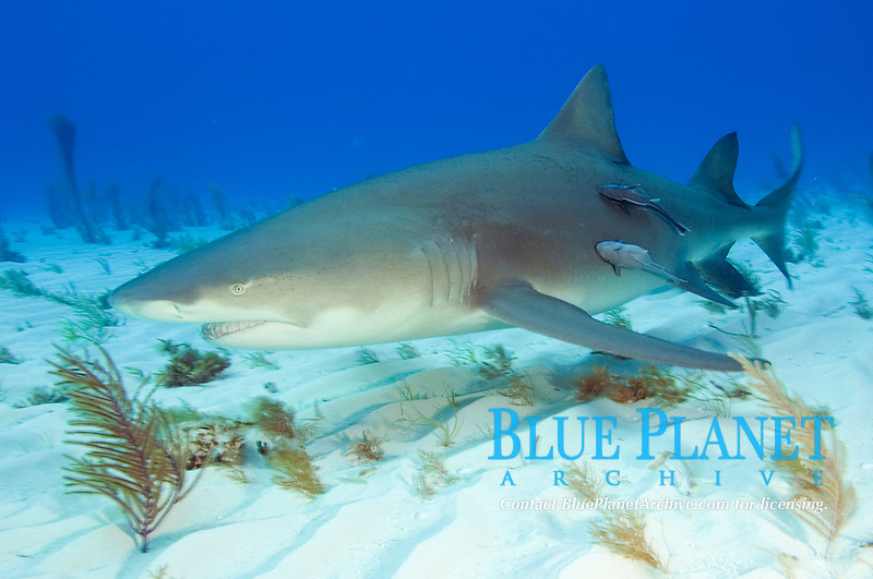 Lemon shark with remoras, Negaprion brevirostris with Echeneis naucrates, Tiger Beach, Bahamas, Caribbean Sea, Atlantic Ocean
