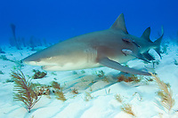 Lemon shark with remoras, Negaprion brevirostris with Echeneis naucrates, Tiger Beach, Bahamas, Caribbean Sea, Atlantic Ocean