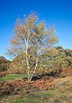 Silver birch tree on Sandlings heathland, Shottisham, Suffolk, England