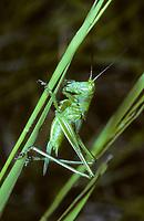 Grünes Heupferd, Entwicklungsreihe, 6. Larvenstadium, Larve, Nymphe, Weibchen, Großes Heupferd, Großes Grünes Heupferd, Grüne Laubheuschrecke, Tettigonia viridissima, Great Green Bush-Cricket, Green Bush-Cricket, female, la grande sauterelle verte, Tettigoniidae