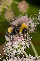 Helle Erdhummel, Männchen, Weißschwanz-Erdhummel, Weißschwanz Erdhummel, Bombus lucorum, Blütenbestäubung, Nektarsuche, Blütenbesuch, white-tailed bumble bee