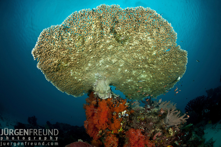 Plate coral (Acropora sp.) growing in the reef.