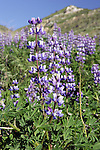 Lupine Along The Foot Hills Along The Santa Clara River