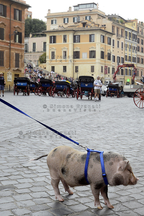 Roma, 19 Settembre 2014<br /> Piazza di Spagna.<br /> Mirto, &egrave; il nome del maialino al guinzaglio a spasso per Roma con il suo padrone Stefano con cui vive in casa.<br /> Maialino come animale da compagnia.<br /> Curiosit&agrave; da parte dei turisti.<br /> A pig on a leash at Piazza di Spagna. <br /> Rome, 19 September 2014 <br /> Piazza di Spagna. <br /> Mirto, is the name of the piglet on a leash for a walk around Rome with his master Stephen with whom he lives in the house. Curiosity of tourists. <br /> Pig as a pet.